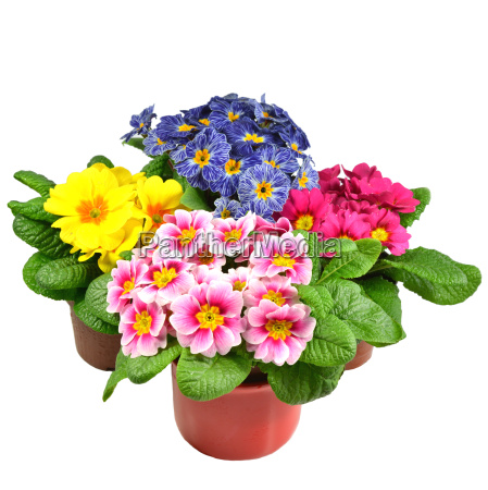 four primroses in flower pot