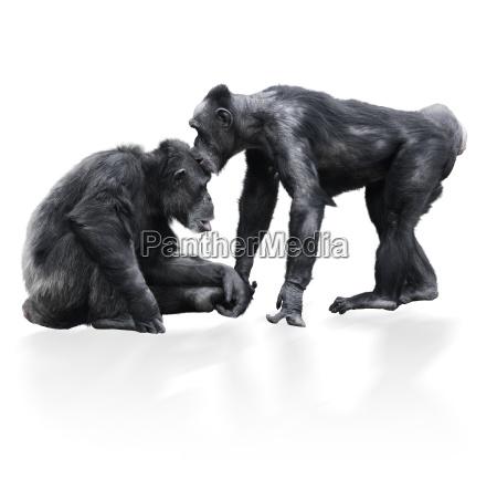 zwei schwarzer schimpanse