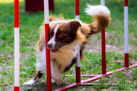 agility hund mit einem roten border
