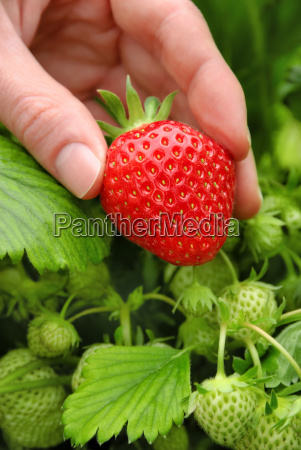 perfect pick ripe strawberry