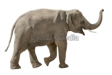 froehlicher elefant auf weiss