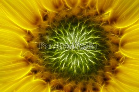 bluete der sonnenblume