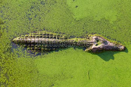 jungalligator in thailand feuchtgebietsteich mit entenkraut