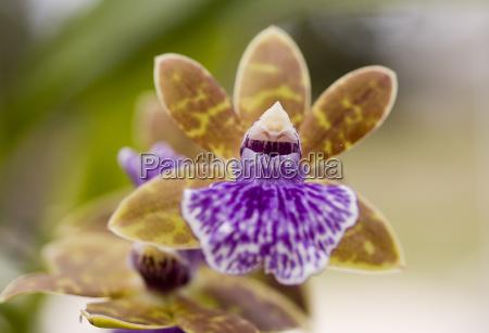 zygopetalum purple brown orchid flower