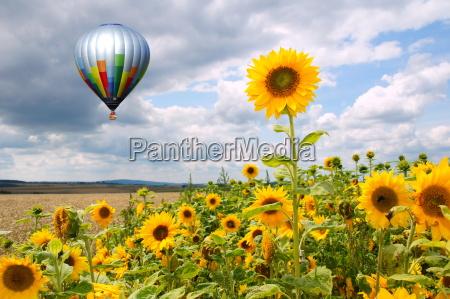 heissluftballon ueber sonnenblumenfeld