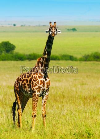 big wilden afrikanischen giraffe
