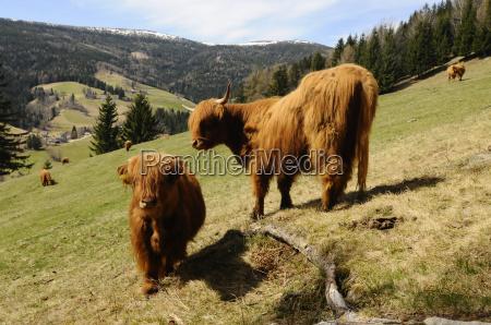 young animal highlandcattle schottischeshochlandrind cow cows