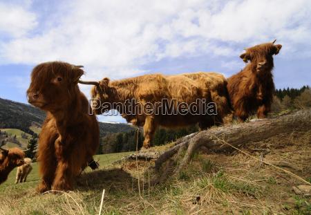 pasture highlandcattle schottischeshochlandrind cow cows beef
