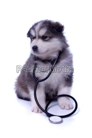 husky puppy with stethoscope