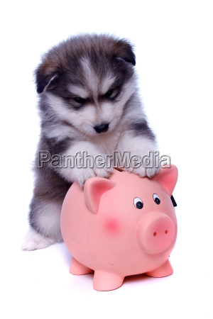 husky puppy with piggy bank