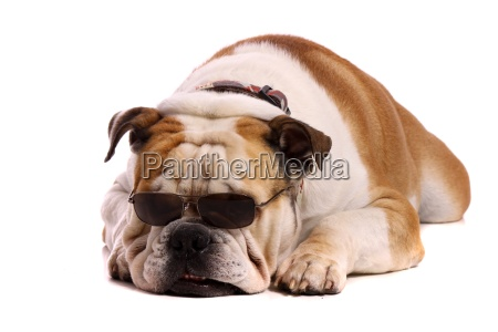 dog bulldog with sunglasses