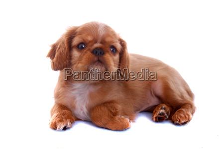 king charles puppy lying