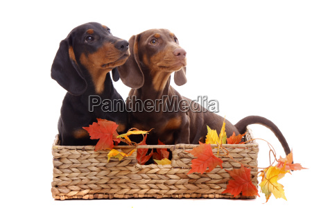 dachshund puppy sitting in a basket