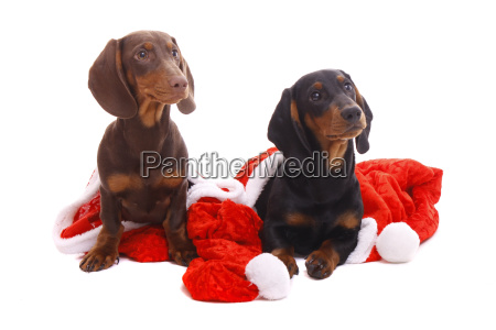 dachshund puppy and christmas
