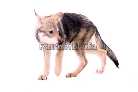 anxious wolf dogs young dog
