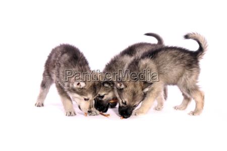 three wolfhound puppies feeding