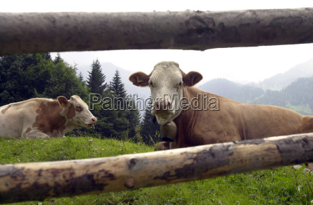 herd serviced alm pasture cow beef