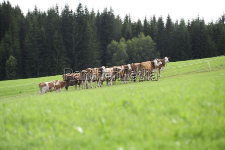 herd alpine farming alm pasture cow