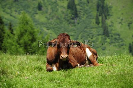 hochalm serviced alm pasture cow cows