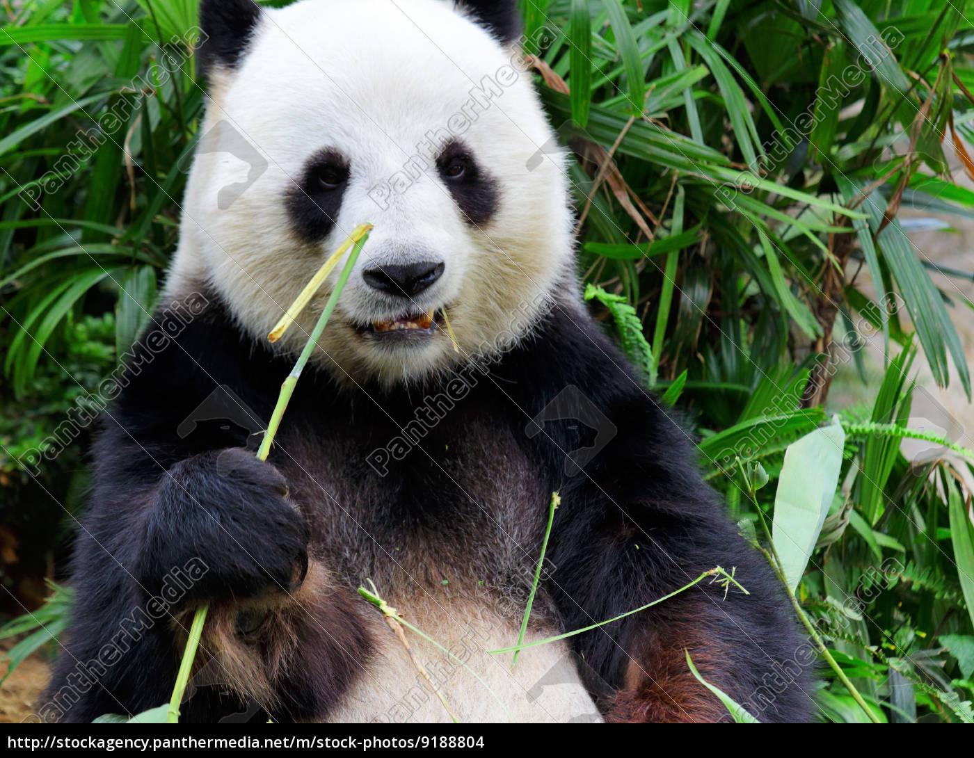 Grosse Panda Essen Bambus Lizenzfreies Foto 9188804