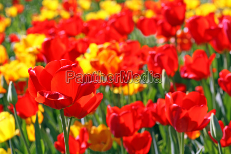 tulips in bright red and yellow
