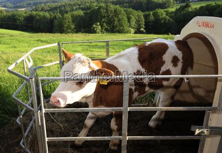 stablegroomcowshedyoung animalcalfcattlecowlivestocklivestockanimalsanimal