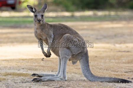 graues riesenkaenguru australien