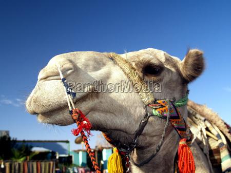 beduinen sahara arabische wueste