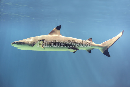 schwimmender hai