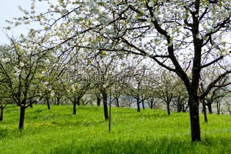 baum obstbaum kirschbaum mit weissen blueten