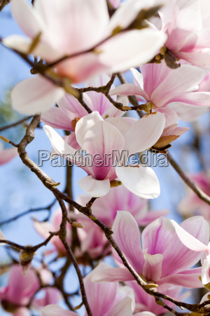 magnolia tree with pink blossoms in