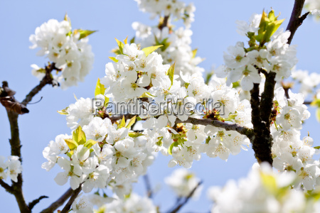 weisse kirschblueten an einem ast baum