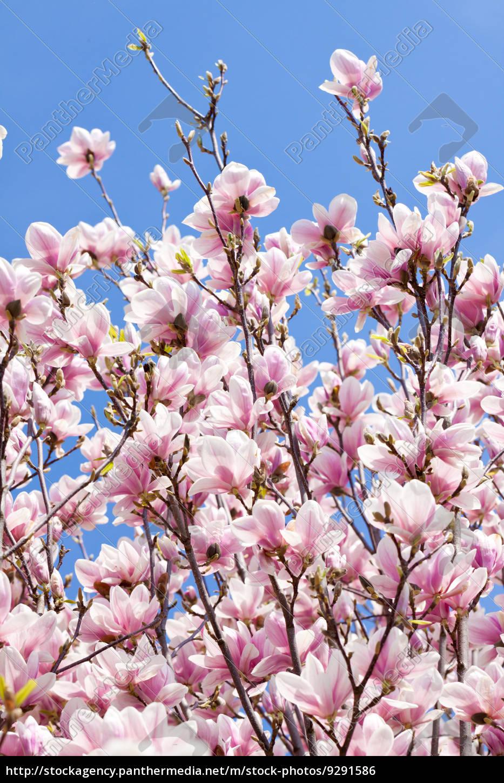 magnolien baum mit rosa bl ten im fr hling mit stock photo 9291586 bildagentur panthermedia