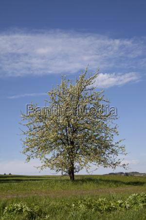 kirschbaum blueht im fruehling