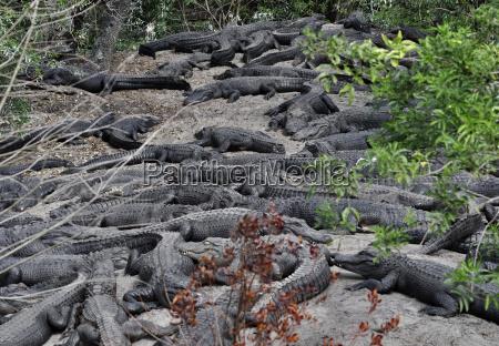 zaehne jaeger alligator reisszahn fangzahn weidmann
