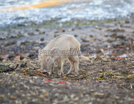 wild boar calf