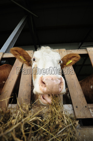 feed pet food animal feed cow