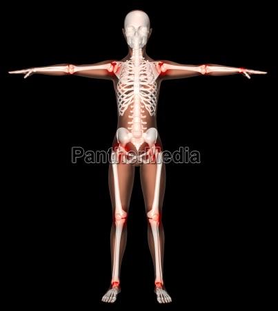 weibliches skelett mit hervorgehobenen gelenken