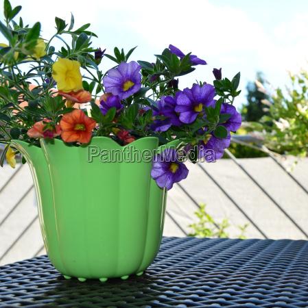pot with minipetunie