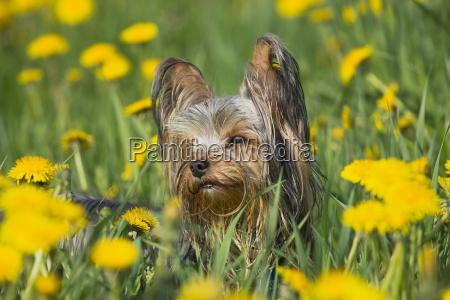 yorkshire terrier in the dandelion meadow