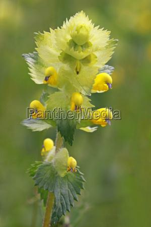 rhinanthus minor