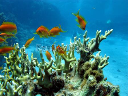 korallenriff mit feuerkoralle und exotischen fischen