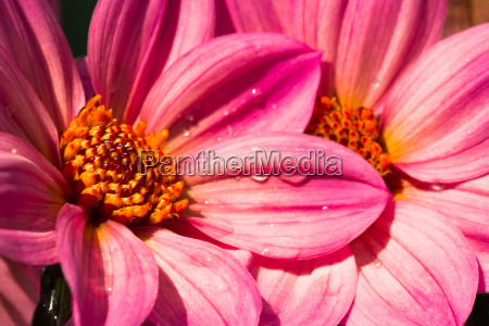pink dahlias close up in sunshine