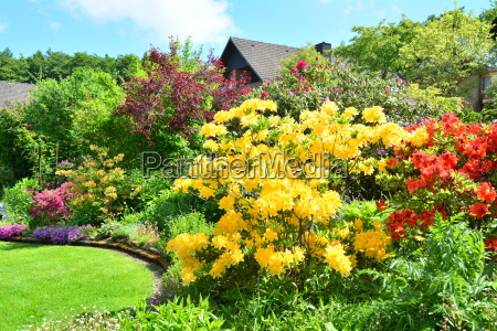 azaleas in the garden
