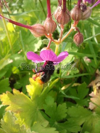garden bumblebee bloom blossom flourish flourishing