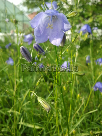 Glockenblume, Blume, Blumen, lila, grün, Knospe - 9425048