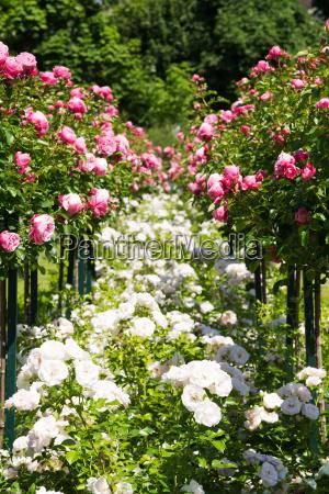 rosenstock mit rosa rosen