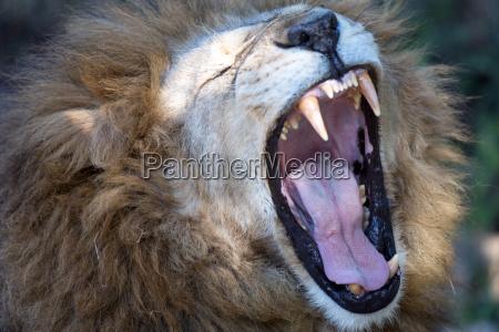lion in einem wildpark in zimbabwe