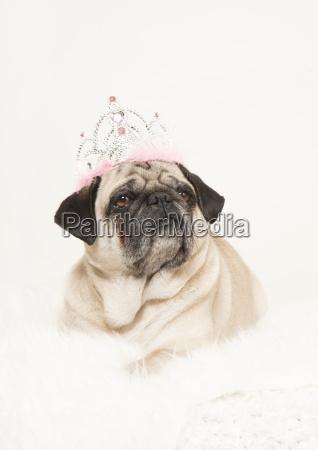 pug portrait crown lying white