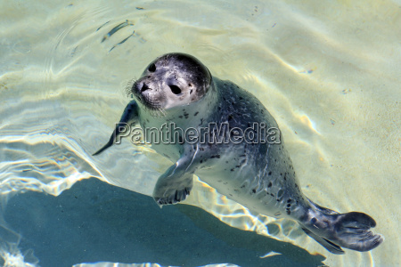 a young seal in water